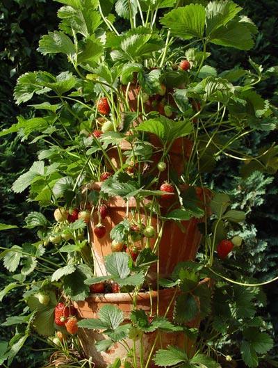 Вертикальная грядка для выращивания клубники