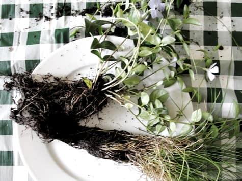 Очищаем корни от земли