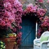 Синяя калитка и розы