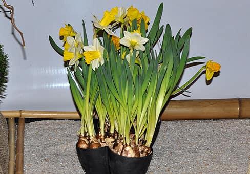 Нарциссы выращенные к празднику Пасхи воистину великолепны!