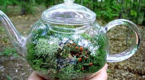 Миниатюрный сад - флорариум в чайнике