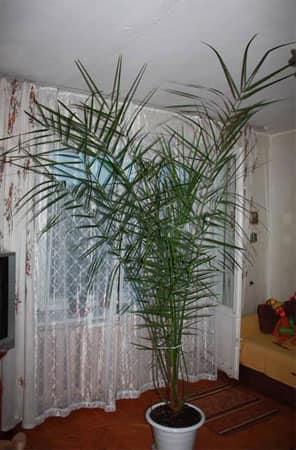 Растение-солитер в интерьере квартиры