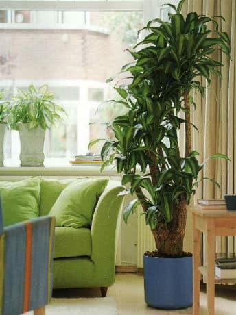 В интерьере квартиры растением-солитером чаще всего становятся пальмы