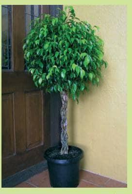 Растение-солитер должно быть достаточно большим