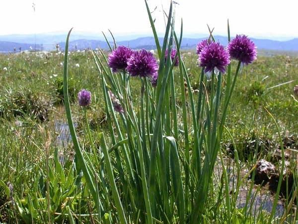 Природный аллярий: цветущий дикий лук в горах