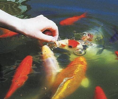 Каких рыбок выбрать для садового аквариума