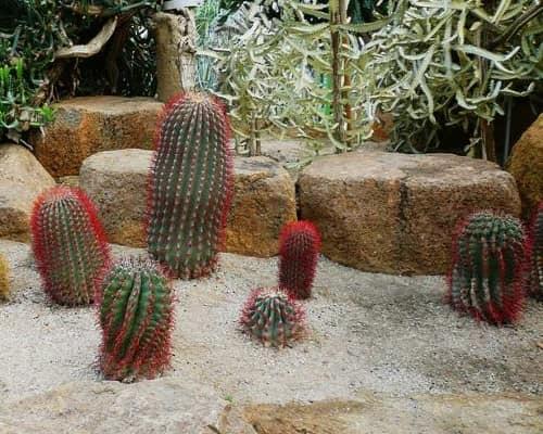 Кактусы: растения для мексиканского альпинария из песка