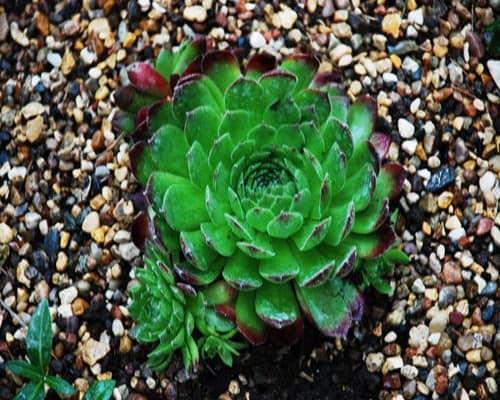 Суккуленты: подходящие растения для аренария из гравия и камней