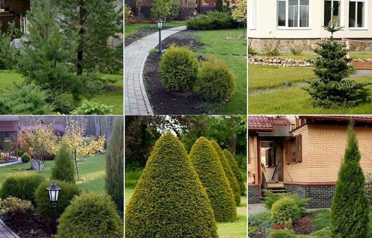 Хвойные растения в ландшафтном дизайне фото