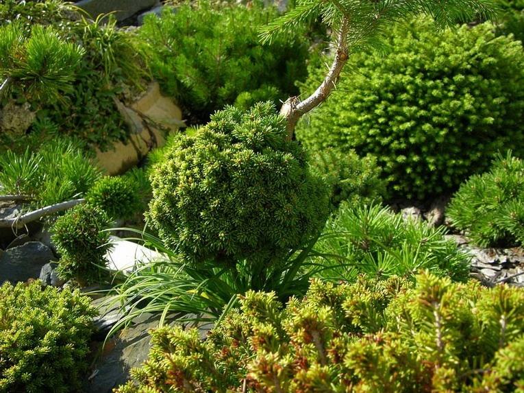 Вечнозеленый сад с использованием хвойных растений для его декора