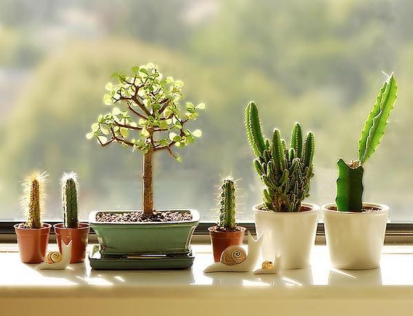 Как украсить подоконник комнатными растениями: кактусы
