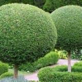 Шарообразные кроны деревьев