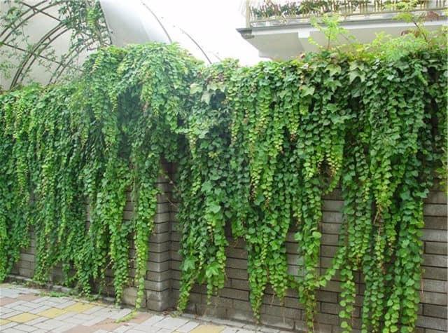 Вертикальное озеленение забора или стены вьющимися растениями
