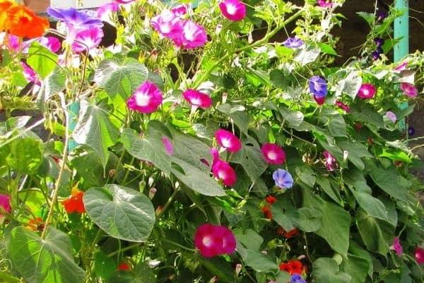 Цветы ипомеи для живых стен