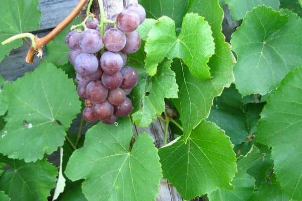 Вертикально озеленение виноградом