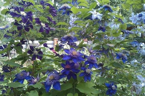 Клематис и его цветы для озеленения стен