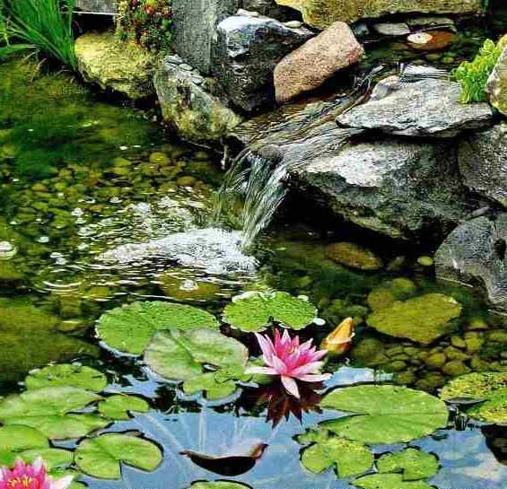 Кувшинки и другие растения для декора водопада на даче