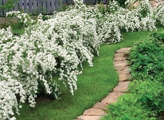 Цветущие кустарники для свободнорастущей живой изгороди фото