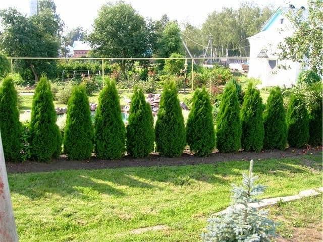 Вечнозеленая живая изгородь из кустарников
