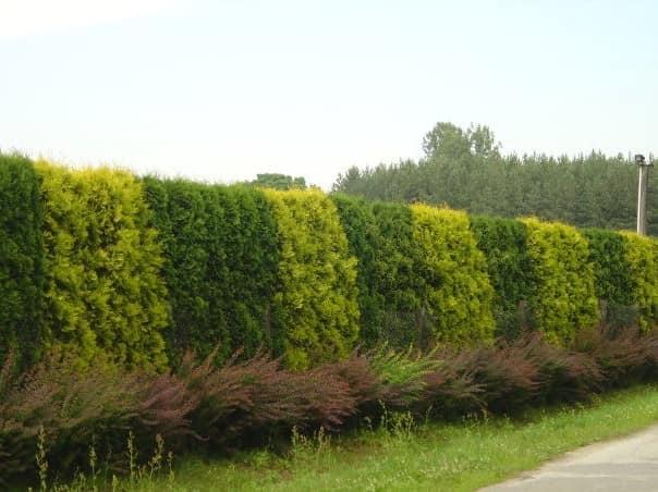Двухцветная живая изгородь из разных кустарников