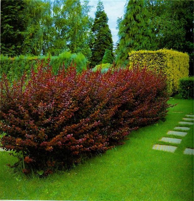 Для живой изгороди кустарники для
