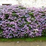 Цветы и растения для живой изгороди