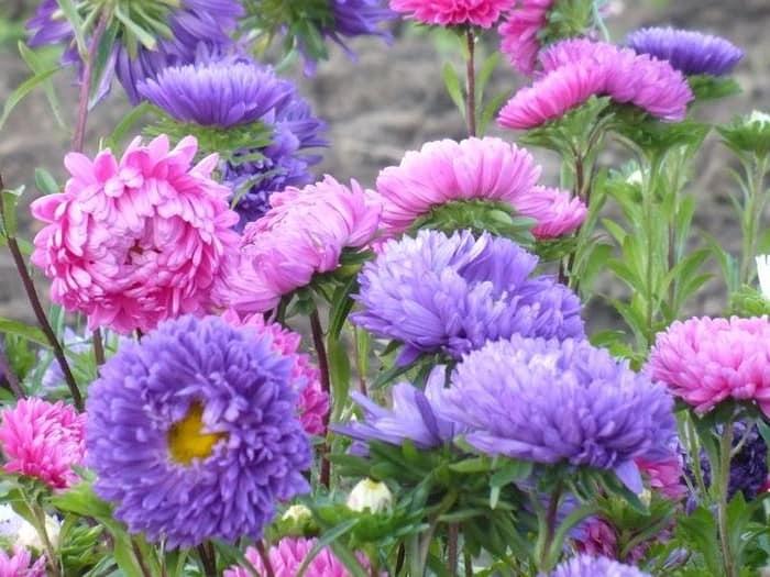 Астры для осеннего сада