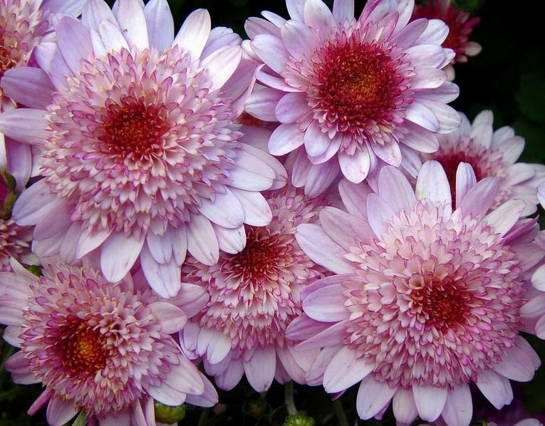 Хризантемы цветут осенью