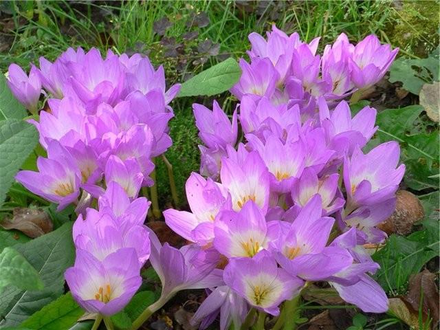 Милое растение - безвременник