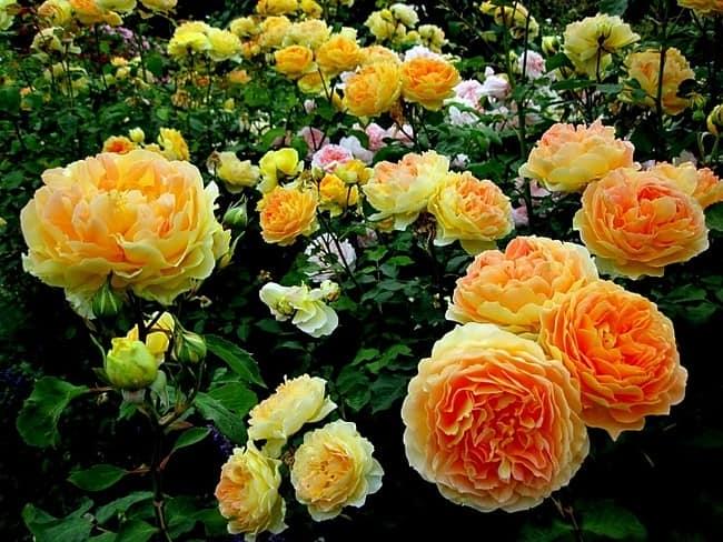 Розы - прекрасны в любое время года