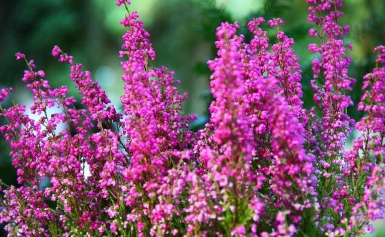 Розовый и фиолетовый вереск для сада осенью