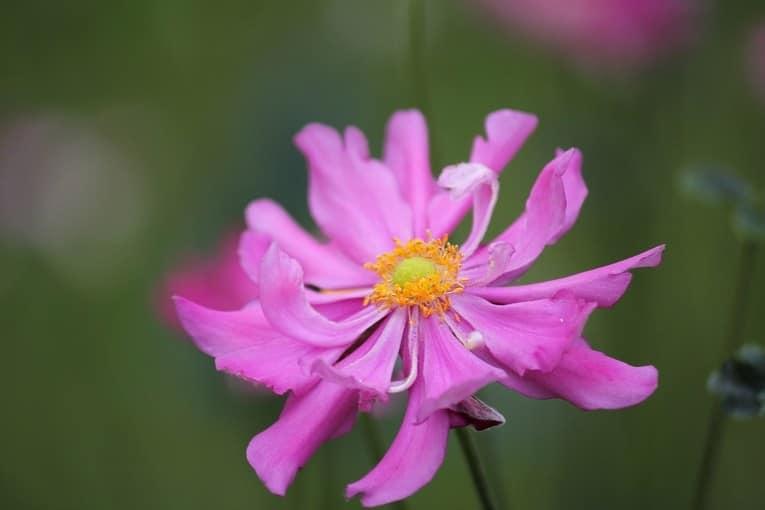 Анемона - прекрасный осенний цветок для декора сада