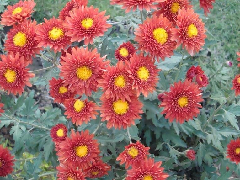 Хризантема - еще один популярный осенний цветок в саду