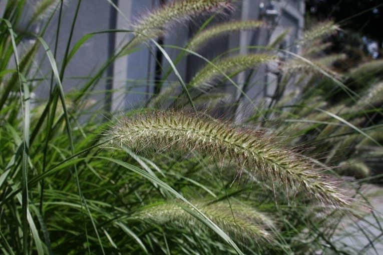 Дикие злаки также могут украсить сад на вашей даче