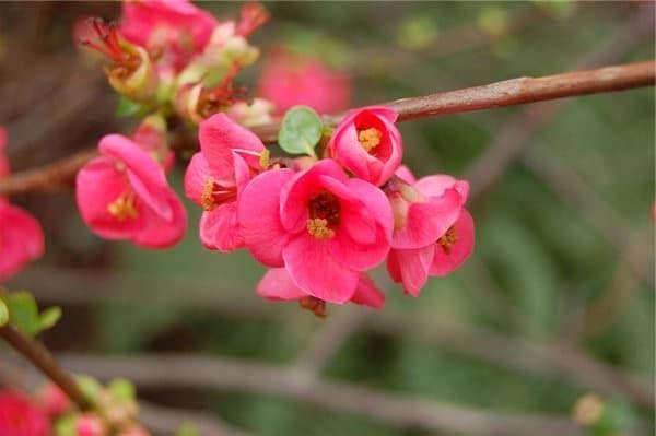 Цветы айвы японской