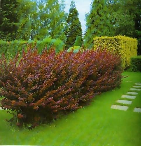 Декоративный кустарник барбориса