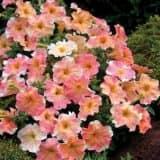 cvety 22