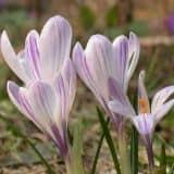 cvety 33