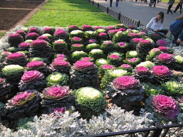 Декоративная капуста сорта Nagoya