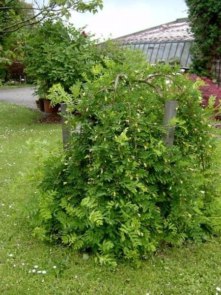 Акация плакучая в саду на даче