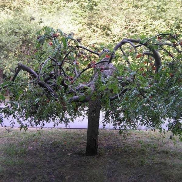 Плакучая рябина в саду на даче