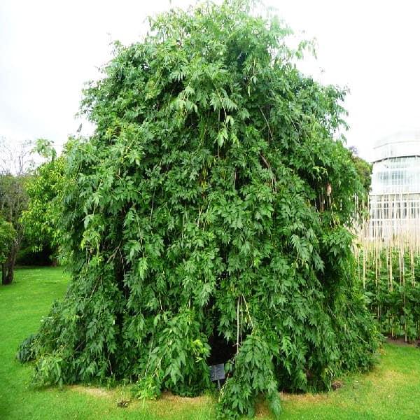 Ясень плакучий в саду на даче