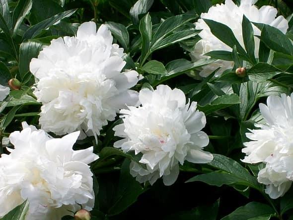 Белые пионы