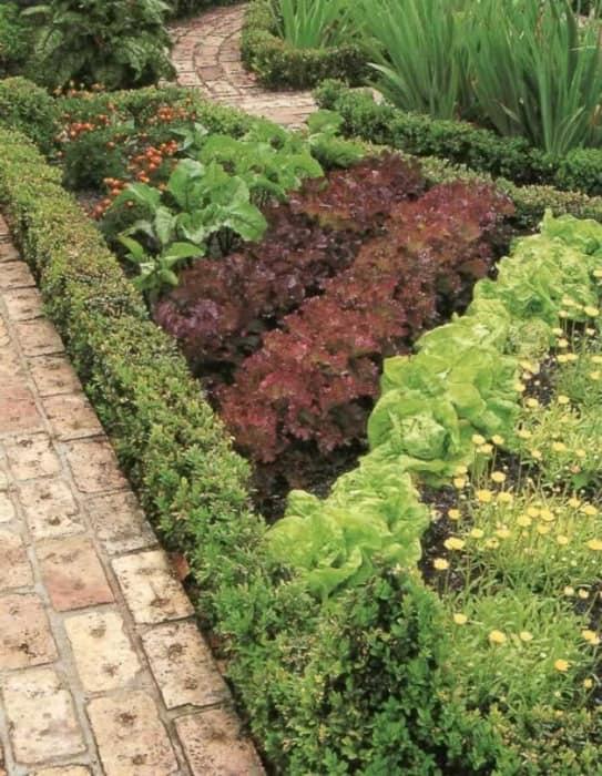 Зелень на декоративной клумбе в огороде
