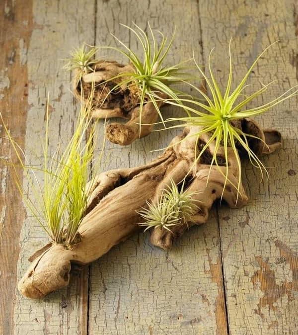 Посадите воздушные растения в старые сухие коряги - получите оригинальный декор дома
