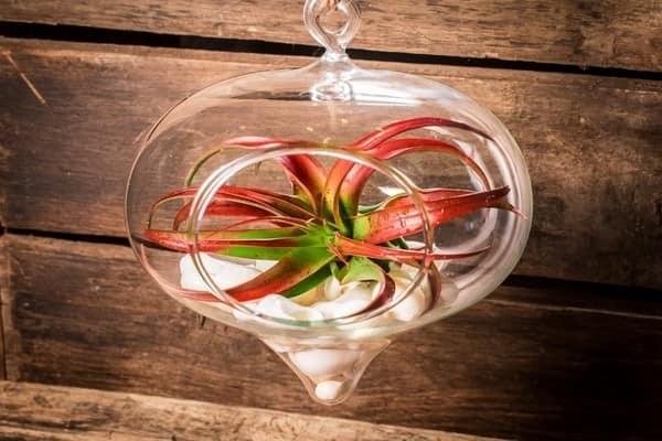 Красное-зеленое воздушное растение в стеклянном контейнере