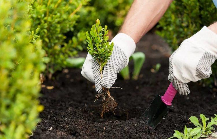 Посадка пионов осенью Секреты сада