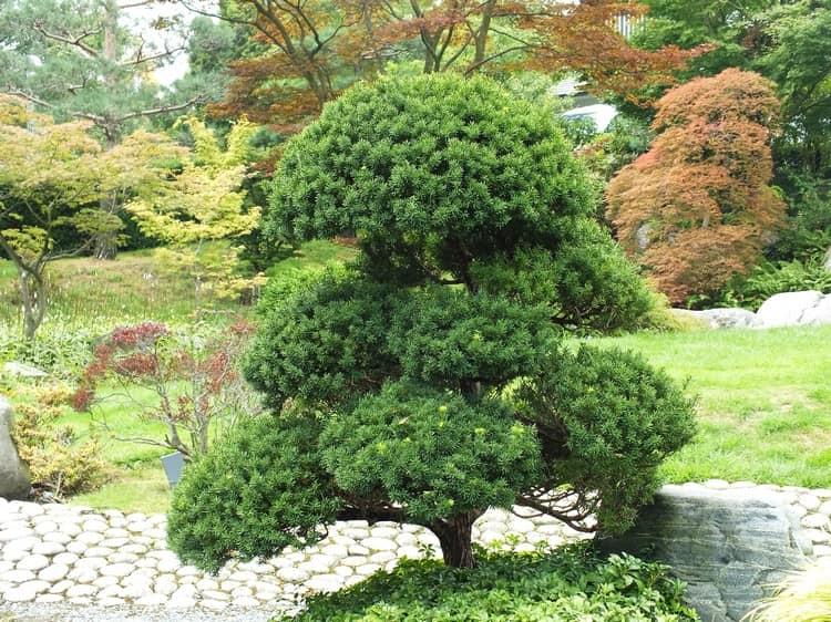 Ниваки и садовый бонсай: кусочек живой Японии в вашем саду (35 фото) 32