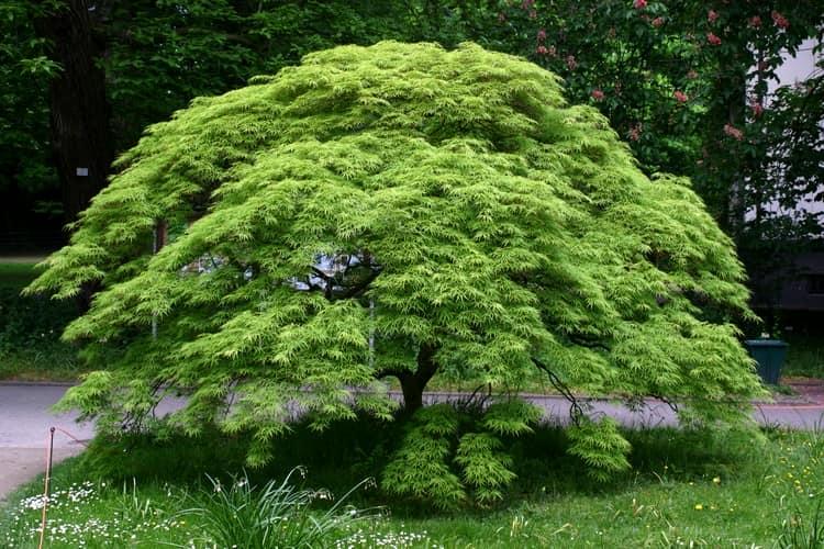 Ниваки и садовый бонсай: кусочек живой Японии в вашем саду (35 фото) 23