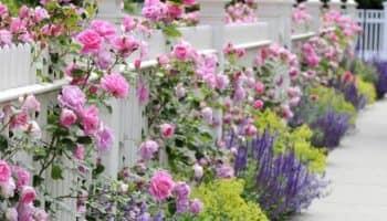 Что посадить возле забора на даче (20 фото)